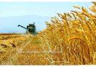تصمیمات نادرست دولت و شکست طرح های اقتصاد مقاومتی در حوزه کشاورزی/ کسی از سرنوشت ٣ میلیون تن گندم خبر ندارد!
