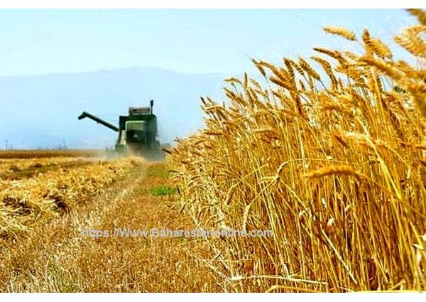 کشاورزان دیگر رغبتی به تولید گندم  ندارند/  بن بست خودکفایی گندم با سیاست های نادرست دولت